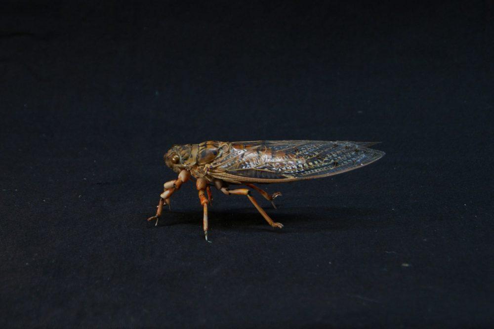 cicada (Tithonos & The Goddess of Dawn), Ulrich Jakob, neat-feature studio